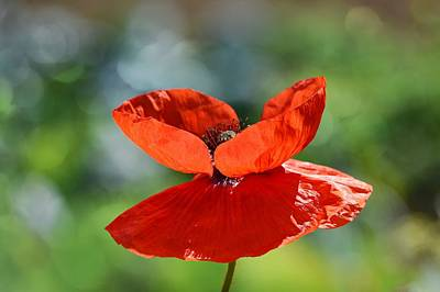 Photograph - Fiery Red 2 by Fraida Gutovich