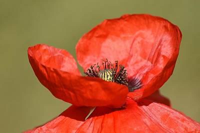 Photograph - Fiery Red  by Fraida Gutovich