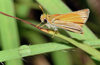 Photograph - Fiery Skipper On Grass by Larah McElroy