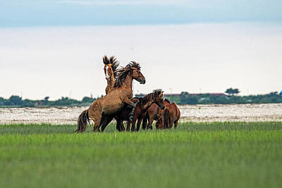 Keith Richards - Fight starts as one stallion tries to mate by Dan Friend