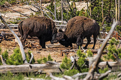 Photograph - Fighting Bison by K Pegg