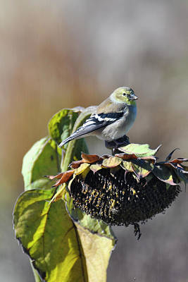 Farmhouse Rights Managed Images - Finch and Sunflower Royalty-Free Image by Gej Jones
