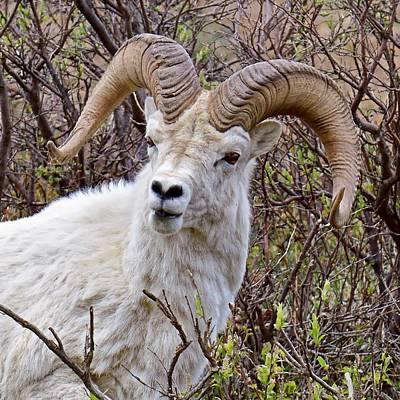 Photograph - Fire Eyes - Dall Sheep, Denali by KJ Swan