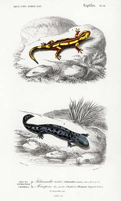 Reptiles Royalty-Free and Rights-Managed Images - Fire Salamander  Salamandra Salamandra and Hellbender Salamander  Cryptobranchus alleganiensis  ill by Celestial Images