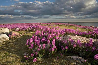 Photograph - Fireweed Chamerion Angustifolium by Matthias Breiter/ Minden Pictures