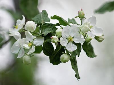 Popular Rustic Neutral Tones - First Apple Flowers 1 by Jouko Lehto