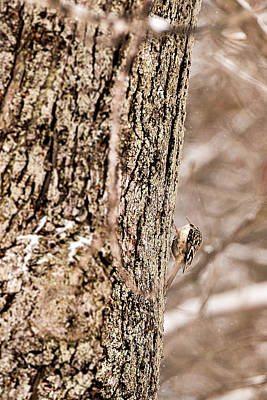 Photograph - First Brown Creeper by Onyonet  Photo Studios