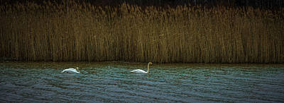 Photograph - First Swans 2019 #i5 by Leif Sohlman