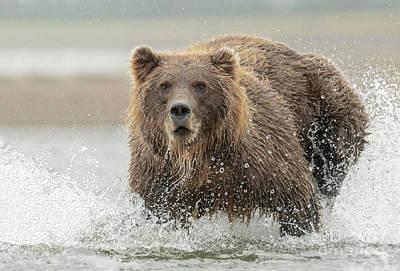 Photograph - Fish Coastal Brown Bear of Alaska by Thomas Major