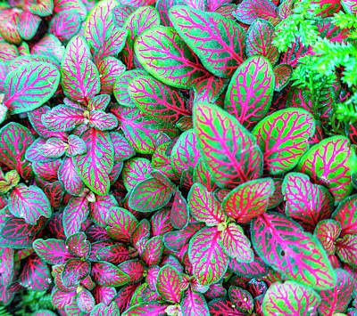 Photograph - Fittonia Nerve Plant by Karen and Phil Rispin
