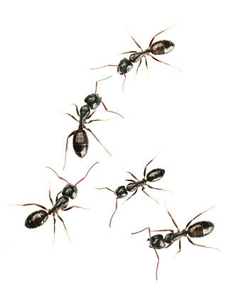 Ant Photograph - Five Black Ants by Antagain