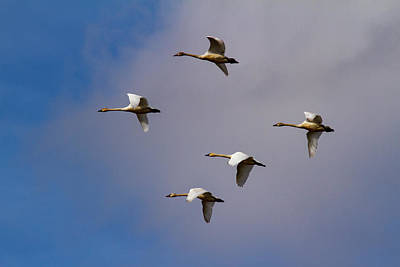 Photograph - Five Tundra Swans Flying by Jean Noren