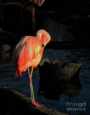 Photograph - Flamingo 6   American Flamingo by Lizi Beard-Ward