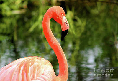 Photograph - Flamingo by Elaine Manley