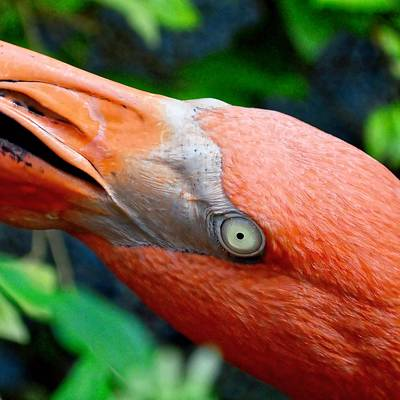 Photograph - Flamingo Eye by KJ Swan