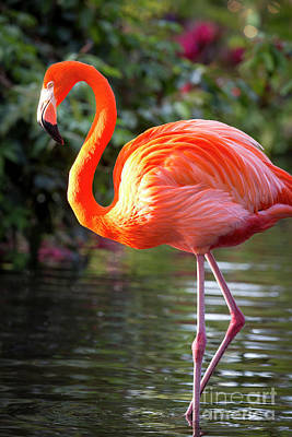 Photograph - Flamingo V by Brian Jannsen