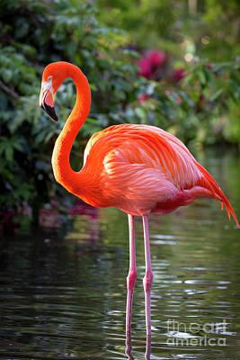 Photograph - Flamingo Vi by Brian Jannsen