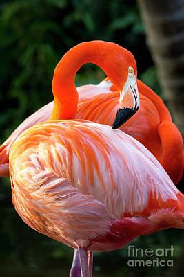 Photograph - Flamingo Vii by Brian Jannsen