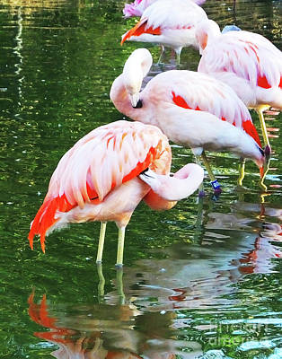 Photograph - Flamingo10 Chilean Flamingo by Lizi Beard-Ward