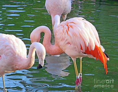 Photograph - Flamingo14 by Lizi Beard-Ward