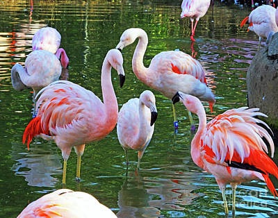 Photograph - Flamingo7 Chilean by Lizi Beard-Ward