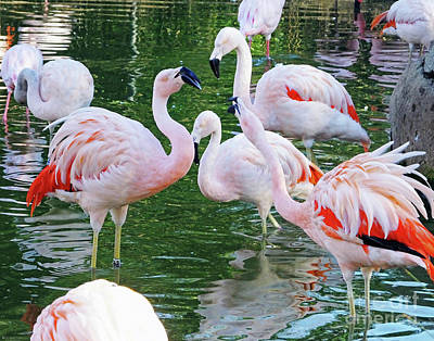 Photograph -  Flamingo8  Chilean by Lizi Beard-Ward
