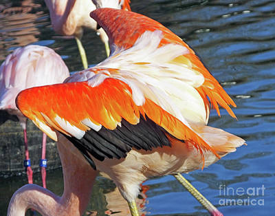 Photograph - Flamingo9  American Flamingo by Lizi Beard-Ward