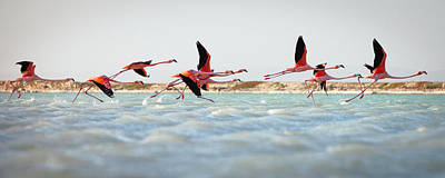 Flying Photograph - Flamingos Taking Flight by Justin Lewis
