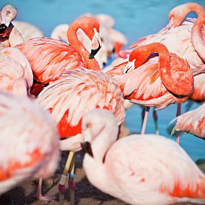 Photograph - Flamingos by Xavierarnau