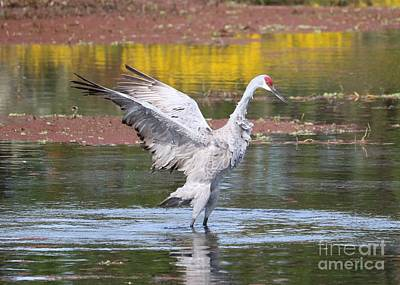 Photograph - Flapping Sandhill Crane In Marsh With Wildflowers by Carol Groenen