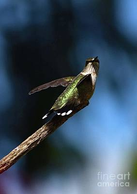 Art History Meets Fashion Rights Managed Images - Flashy Ruby-throated Hummingbird Royalty-Free Image by Cindy Treger