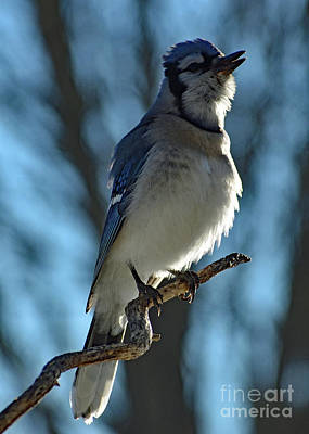 Birds Rights Managed Images - Flawless Beauty - Blue Jay Royalty-Free Image by Cindy Treger