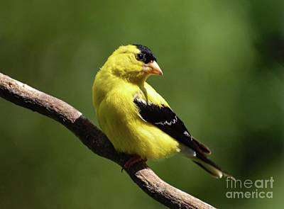 When Life Gives You Lemons - Flawless Male American Goldfinch by Cindy Treger