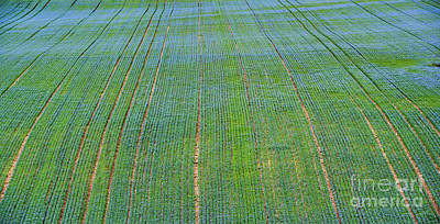 Photograph - Flax Field by Tim Gainey