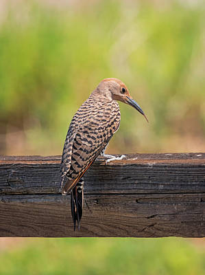 Photograph - Flicker Tongue by Loree Johnson