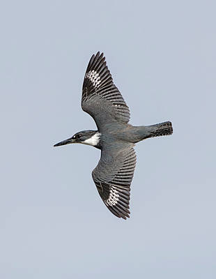 Photograph - Flight Of The Belted Kingfisher by Loree Johnson