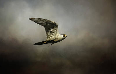 Photograph - Flight Of The Falcon by Jai Johnson