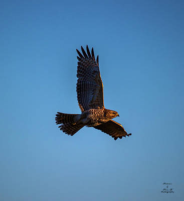 Photograph - Flight Of The Hawk by Kevin Banker