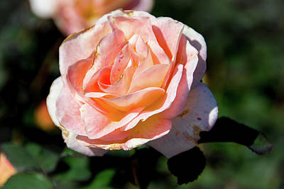Photograph - Flirtatious Rose by Jennifer Wick
