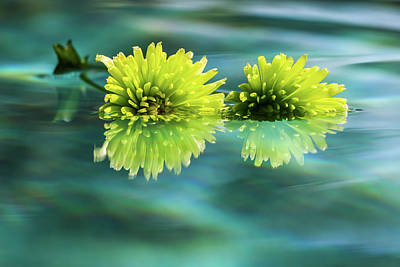 Photograph - Floating Daisies 2 by Dawn Richards