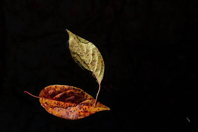 Photograph - Floating Fall Leaves by Robert Ullmann