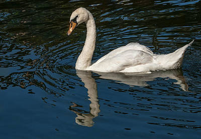 Photograph - Floating Swan by Jean Noren