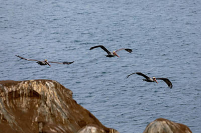 Photograph - Flock of Pelicans by K Pegg