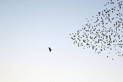 Flying Photograph - Flock Of Sturnus Vulgaris Flying by Fotofalk