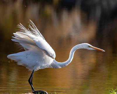 Photograph - Floofy Egret by Mary Hone