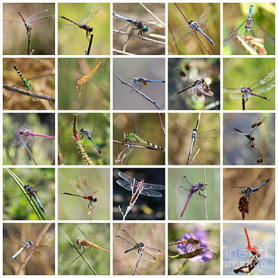 Photograph - Florida Dragonflies Collage by Carol Groenen