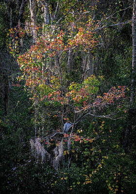 Photograph - Florida Heron In Red Maple by Steven Sparks