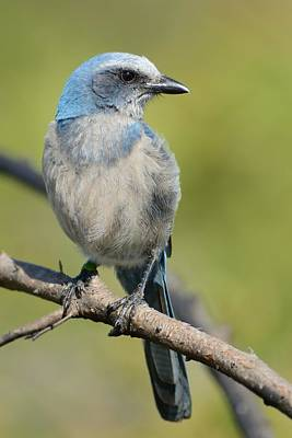 Photograph - Florida Scrub Jay On Lookout Duty by Bradford Martin
