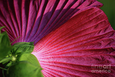 Photograph - Flower Folds In Shadows by Karen Adams
