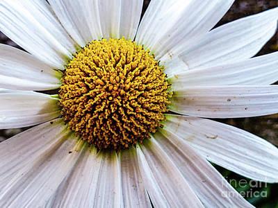 Photograph - Single Daisy by Laurel McFarland